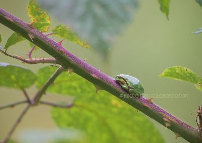 European Tree Frog resting on a stem of a blackberry bush