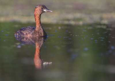 Little Grebe just coming above the water