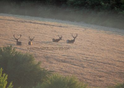 Red Deer Stags in the forst daylight standing in a corn field