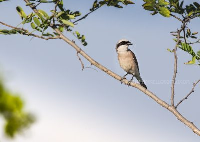 Red-backed Shrike waiting for a prey