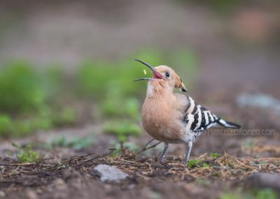 Hoopoe throws up the found food