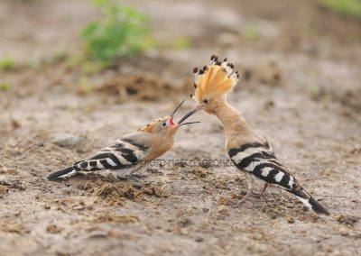 Young hoopoe feeded by one of the parents