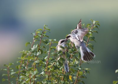 Juvenile Lesser Grey Shrike feeded by one of his parents