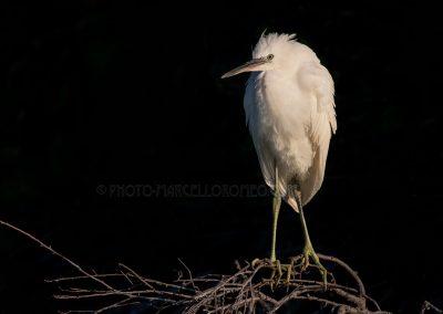 Little Egret posing in heavy sunlight…