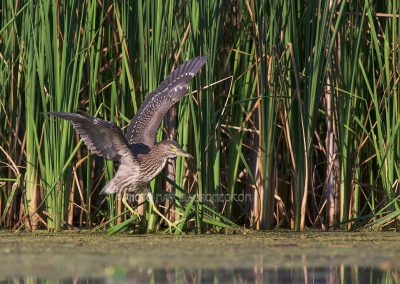 Young Night Heron balances on the edge of a reedland