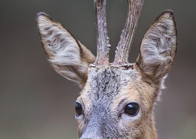 Head portret of a Roe Deer buck (Capreolus Capreolus) who posed a split second very close