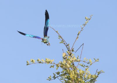 European Roller flies of to bring a big grasshopper to the nest.