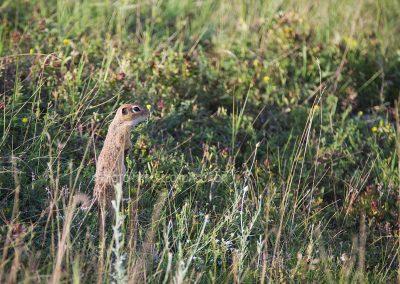 European ground squirrel listening