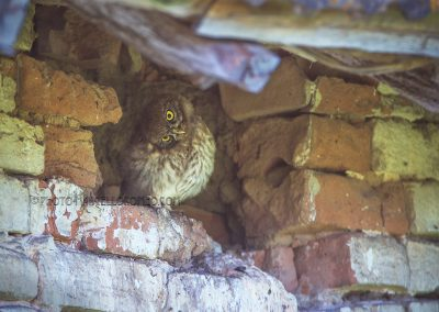 Juvenile Little Owl rotates her head