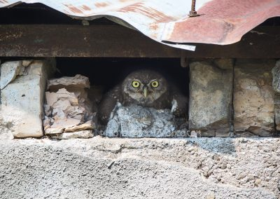 Young Little Owl spreads his wings to reduce the heat laying under the roof of the barn they're living in
