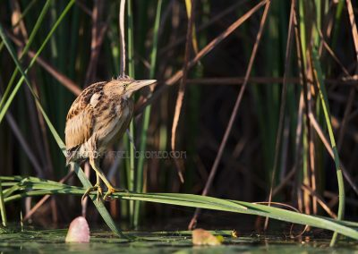 Young little bittern steps out of the reed