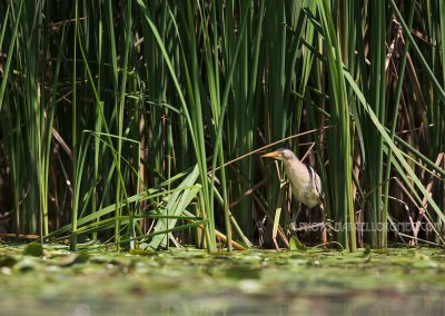 Male little bittern looking out the reed