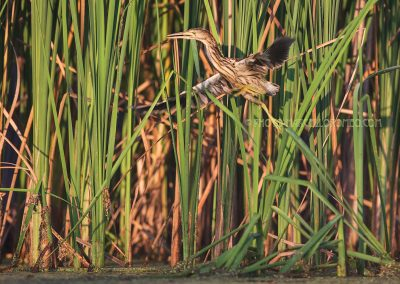 Young little bittern flies up from the reed