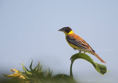 Black-headed Bunting on the top of a sunflower