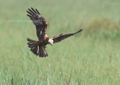 Marsh Harrier hunting for a prey