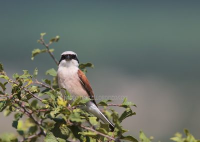 Red-backed Shrike looks right into the camera