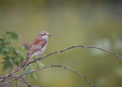 Female Red-Back Shrike on a twig of a bush