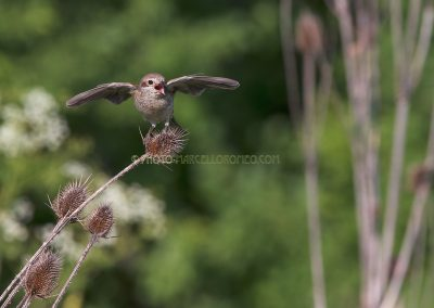 Female Red-backed Shrike screams excited to the male who brings in food for the young ones.