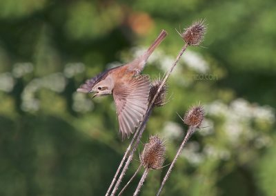 Female Red-backed Shrike flies off a thistle