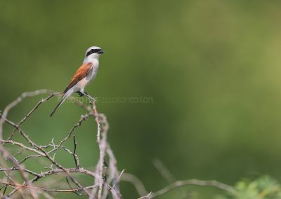Male Red-backed Shrike sitting on his observation post