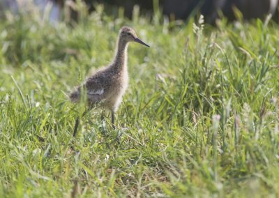 Young Black-tailed Godwit fouraging in the meadow
