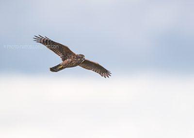 Northern Goshawk in flight, hunting for a prey