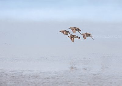 Couple of Ruff's are going to land in swallow water to start fouraging