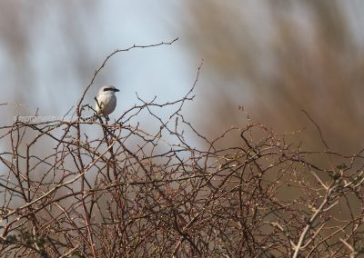 Great Grey Shrike on the top of a bush looking out for a prey