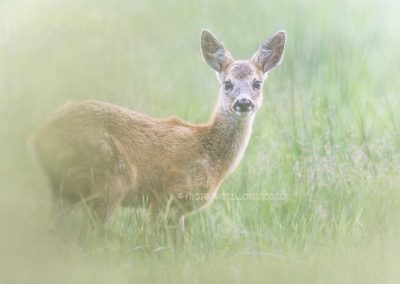 Roe Deer fawn staring in the fog