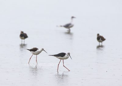 Two Black-winged Stilts walking through shallow water