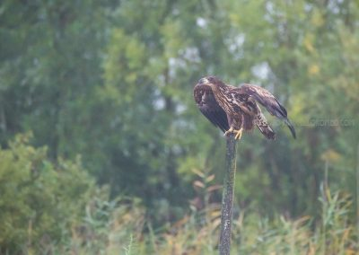 White-tailed Eagle is about to fly off the pole he was resting on
