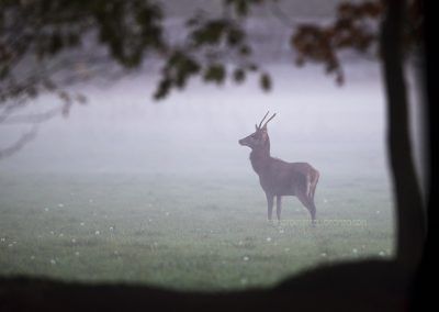 Young Red Deer standing in a meadow at the first daylight