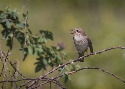 Female Red-backed Shrike calling