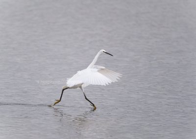 Little Egret runs in low water to catch some fish…