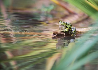 Marsh Frog ( Pelophylax) sitting on a reed stem