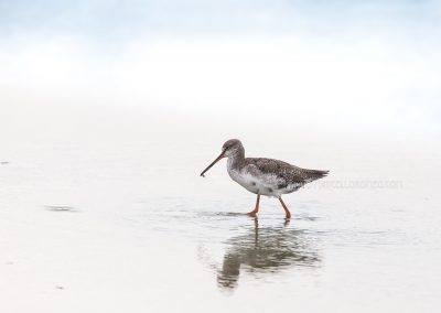 Spotted Redshank wading through swallow water during fouraging
