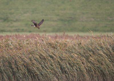 Hen Harrier hunting above the reedlands