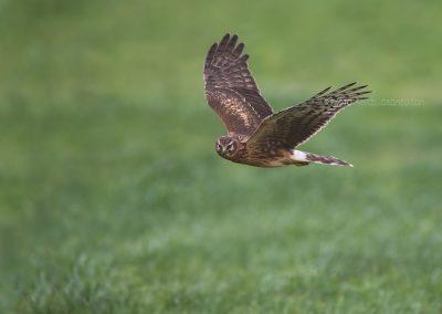 Female Hen Harrier looking for a prey…