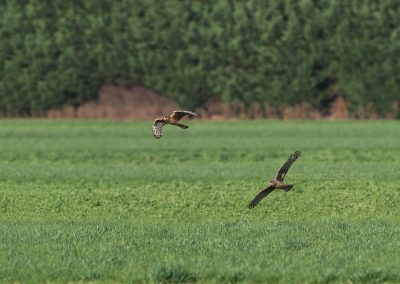 Two Hen Harriers hunting above the meadow