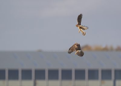 Two Hen Harriers playing in the air…