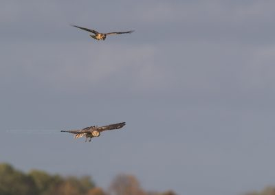 Two Hen Harriers flying above each other