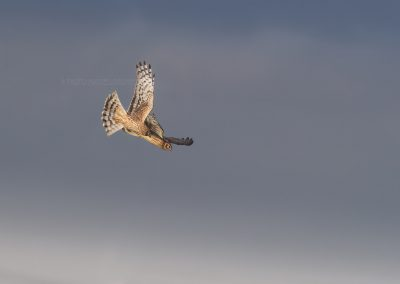 Two Hen Harriers flying synchronously…