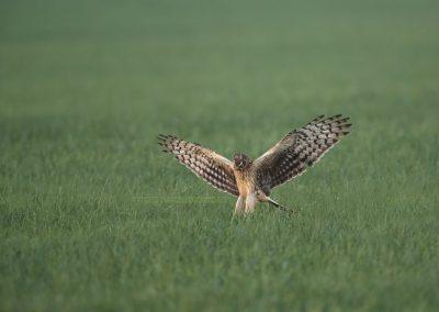 Hen Harrier jumps on a prey…