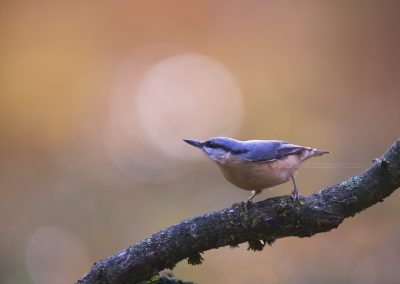 Nuthatch posing a nd listening for a while…