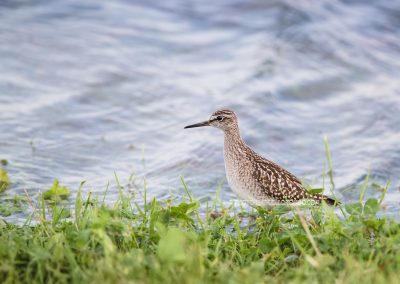 Wood Sandpiper foraging at the waterside