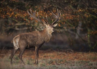 Red Deer Stag looking backwardsduring foraging