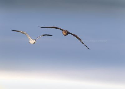Great Skua in flight (with a Lesser Black-backed Gull in the background)