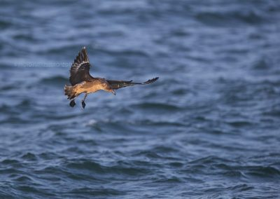 Great Skua about to land on the sea waves
