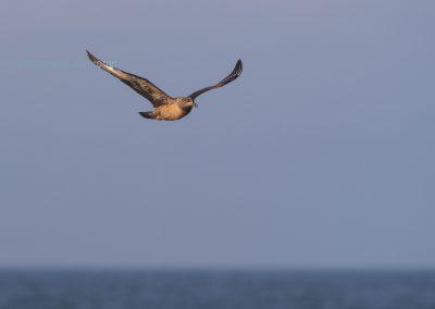 Great Skua in flight over the sea