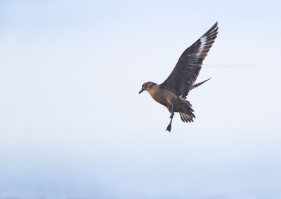 Great Skua comes up out of the sea